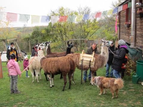 Viele Lamas gibts in der Wagenburg