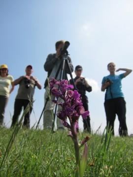 Orchideen im Seewinkel